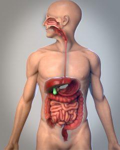3D Medicina imagen médica digestión